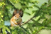 Eurasian Red Squirrel in a tree in Finland
