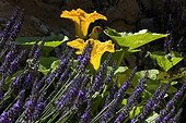 Lavender flowers and squash in a garden France