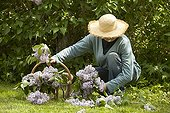 Harvest of lilac in a garden