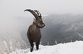 Young male Alpine Ibex in winter France