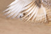 Pharaoh eagle-owl flying United Arab Emirates