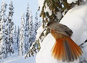 Siberian jay on a branch covered with snow Kuusamo Finland