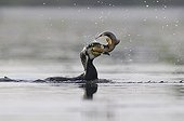 Great Cormorant holding a Tench in its beak France