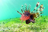 Devil firefish swimming near a seagrass Mayotte