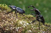 Greater Stag Beetles walking on a branch of Oak, France ; The male pursues the female