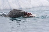 Leopard seal eating a Gentoo Penguin in the water
