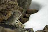 Pika on rock and first snow Rock Glacier Canada
