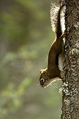 Red squirrel down along a trunk Kootenay Canada