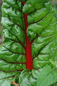Red chard leaf in a kitchen garden