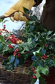 Harvest of holly in a garden in winter