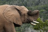 African Elephant rubbing with his trunk South Africa