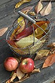 Apples and leaves in a basket in the autumn