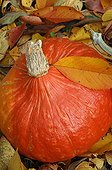 Pumpkin in a garden in autumn