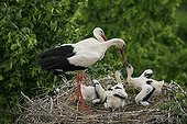 Feeding young Storks aged 3 weeks