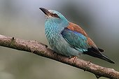 European Roller on a branch in the Hortobagy NP Hungary