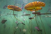 Water lily leaves at the surface of a lake Jura France ; p. 166