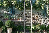 Succulent plants and ladder against a wall in a garden