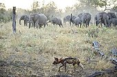 Warthog charging African Wild Dog in savanna Botswana ; Elephant herd advances on wild dog after smelling blood from the pack's warthog kill