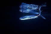 Blackwing flyingfish at night in Mediterranean sea France ; Note the dimorphism of the anterior lobe of the caudal fin that serves as sculling flat when flush with the surface