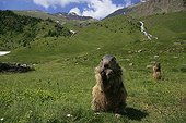 Alpine marmot eating while standing in grass Prapic France