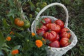 Harvest of tomatoes 'Coeur de boeuf' in a kitchen garden
