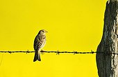 Sky Lark on barbed wire at the edge of a field of turnip