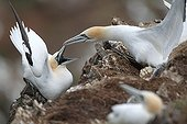 Gannets on cliff Scotland UK