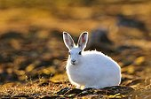 Arctic hare in Cape Hoegh during the Arctic night Greenland