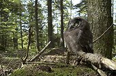 Young Boreal Owl on a branch in undergrowth Switzerland ; After his first jump from the nest.