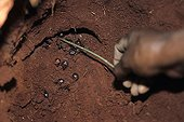 Honey ants dug up by Aboriginal ladies in Australia ; Warlpiri Aborginal community of Alice Spring