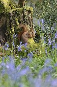 Red squirrel eating on a stump in the spring France