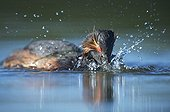 Eared Grebe eating a crayfish Sologne France