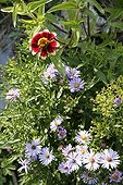 Asters and zinnia in bloom in a garden