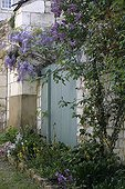 Glycine in bloom on a house