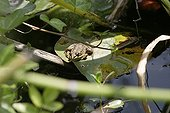 Frog on a water lily leaf in a garden pound