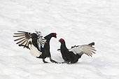Fight og Male black grouse parade in snow Swiss Alps