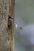 Pygmy Owl adult cleaning its nest in Switzerland