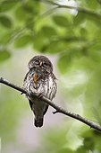 Pygmy Owl adult adult itching itself on a branch Switzerland