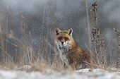 Red fox waking up in the snow in a meadow ; In full rutting season.