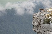Young Alpine Ibex on the edge of a cliff