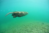 European beaver swimming underwater in Savoie France