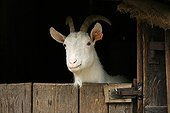 Goat portrait at the door of a farmhouse France