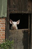 Pig portrait at the door of a farmhouse France