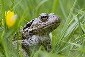 Common toad in the grass in the spring France