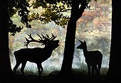 Male red deer roaring in front of a hind in a clearing