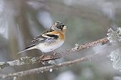 Brambling sitting on a branch in winter France