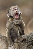 Young Chacma Baboon by a mimicry of laughter