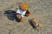 Teddy bear observing a Ghost Crab or Sand Crab (Ocypode sp ; Teddy bear observing a Ghost Crab or Sand Crab (Ocypode sp.), Jabula Beach near Santa Lucia, KwaZulu-Natal province, South Africa, Africa
