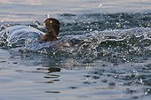 Common Pochard landing at the water surface Switzerland