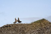Couple of Great Skua parading across the tundra Iceland